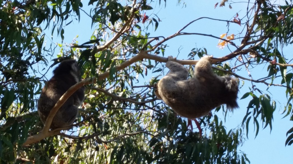 Kennett River Koalas