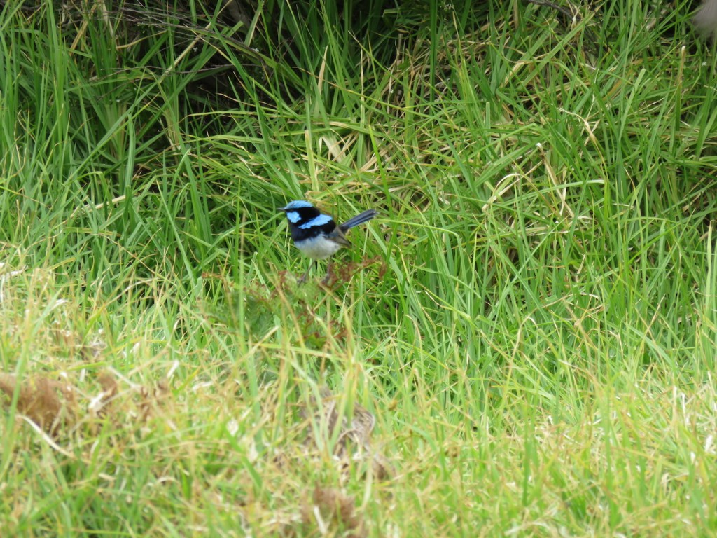 Blue Wren Great Ocean Walk