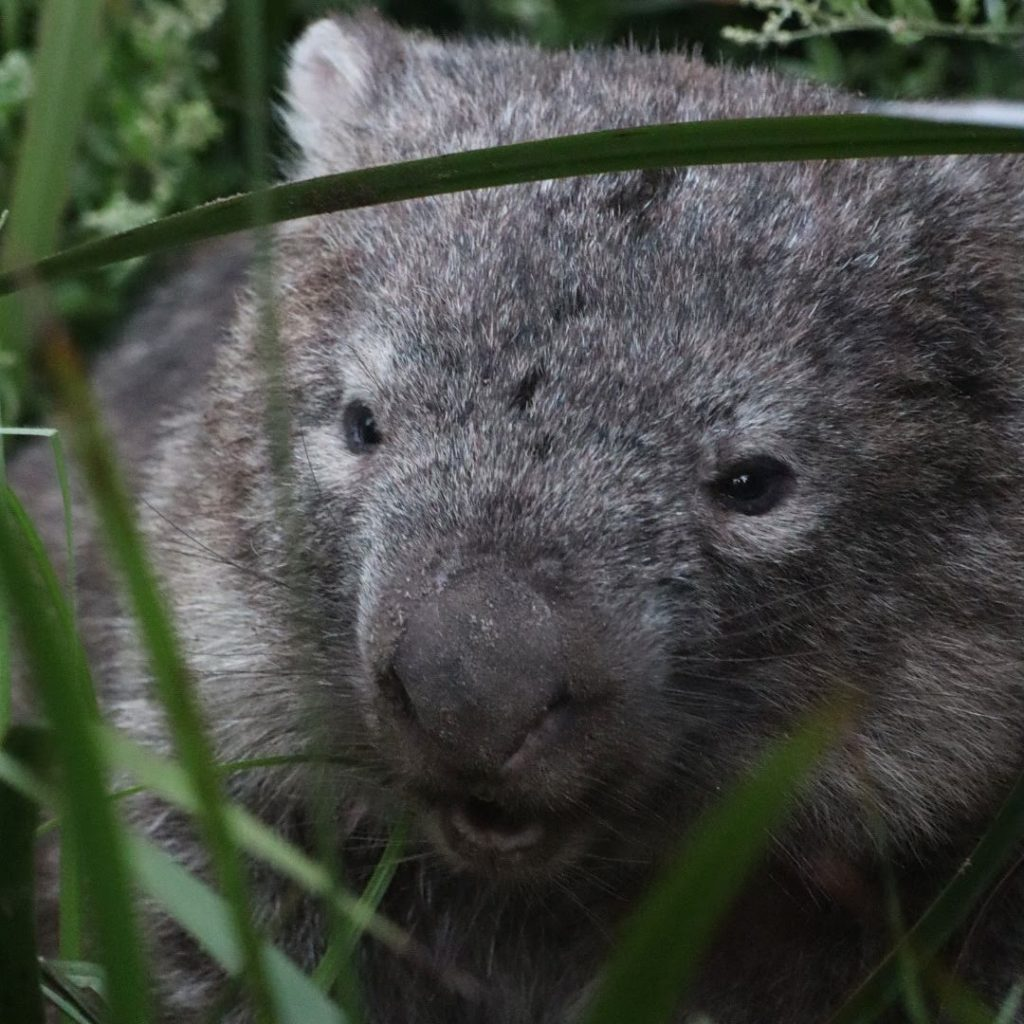 Wombat on Wilsons Prom Tour with Good Times Tours